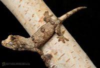 Chahoua Geckos