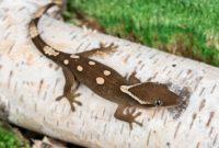 Sarasinorum Geckos