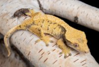 Crested Gecko Females