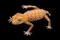 Knob Tail Geckos
