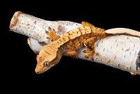 Baby & Juvenile Crested Geckos